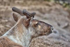 Reindeer in early spring Stock Image