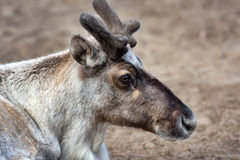 Reindeer in early spring. Deer in early spring in Berlin Zoo Stock Images