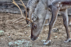 Reindeer in early spring Royalty Free Stock Images