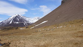 Reindeer in the east fjords of Iceland. Reindeer herd grazing in spring on the east fjords of Iceland royalty free stock photos
