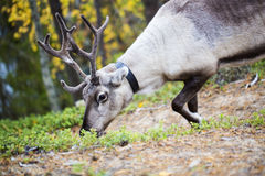 Reindeer eat plants which grow in forest Stock Image