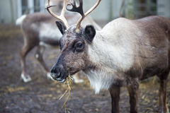 Reindeer eating stock photos