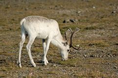 Reindeer eating grass, Norway Royalty Free Stock Photography