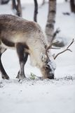 Reindeer Eats in a Winter Forest Royalty Free Stock Photo