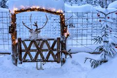 Reindeer in enclosure decorated for Christmas. White reindeer with horns in deer enclosure in Lapland, Finland. Deep clean snow covers ground, enclosure and fir royalty free stock image