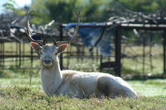 Reindeer Enjoying the Sun Royalty Free Stock Photo