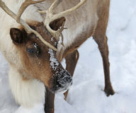 Reindeer Face Stock Images