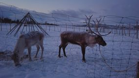 Reindeer farm and camp in northern Norway. Reindeers behind a fence in a reindeer Sami camp in the mountain winter landscape, Tromso region, Northern Norway stock video