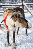 Reindeer in farm in winter Finnish Lapland. Reindeer in winter farm in Rovaniemi, Finnish Lapland Royalty Free Stock Image
