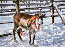 Reindeer at farm in winter Finnish Lapland. Reindeer at winter farm in Rovaniemi, Finnish Lapland Stock Images