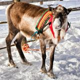 Reindeer in farm at winter Finnish Lapland. Reindeer in winter farm at Rovaniemi, Finnish Lapland Royalty Free Stock Photo