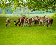 Reindeer fawn pasture in green field during summer. Reindeer fawn pasture in the green field during summer time in Netherlands Stock Image