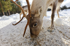 Reindeer feeding. Reindeer close up feeding on cold winter day Stock Photo