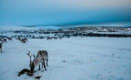 Reindeer feeding on the hills of Karigasniemi royalty free stock photos