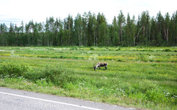 Reindeer feeding side of the road. In Lapland, Finland Royalty Free Stock Images