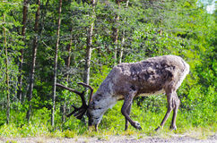 Reindeer feeding side of the road. Reindeer side of main road in Lapland, Finland Royalty Free Stock Photos