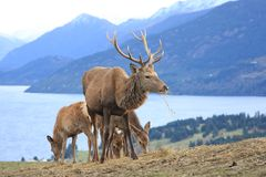 Reindeer in field overlooking mountain and lake Royalty Free Stock Photo