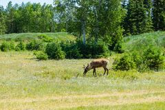 Reindeer in field during summer. stock photography