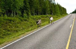 Reindeer in Finland. Typical scene in Finland - reindeer walking along a road Stock Images