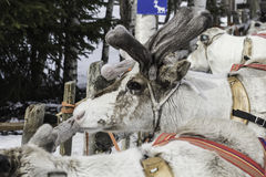 The reindeer in Finland. Royalty Free Stock Photos