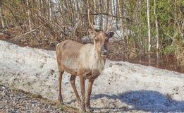 Reindeer in Finland royalty free stock image