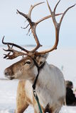 Reindeer in Finland Stock Photography