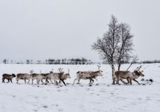 Reindeer flock walked in rows stock photos