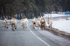 Reindeer flock in the way at road Royalty Free Stock Image