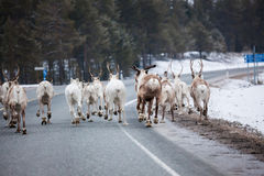 Reindeer flock in the way at road Stock Photo