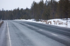 Reindeer flock in the way at road Royalty Free Stock Photos