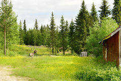 Reindeer on a flowering field Royalty Free Stock Images