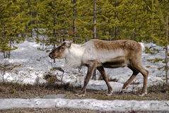 Reindeer in the forest. Reindeer searching for food in the forest Stock Images