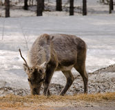 Reindeer in the forest. Reindeer searching for food in the forest Stock Image