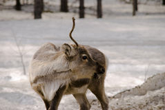 Reindeer in the forest. Reindeer searching for food in the forest Royalty Free Stock Photography