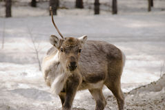 Reindeer in the forest. Reindeer searching for food in the forest Royalty Free Stock Images