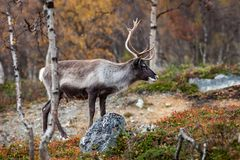 Reindeer in the forest Royalty Free Stock Photos