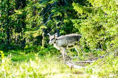 Reindeer in the forest, in Sweden Scandinavia North Europe. Deer in the forest, beautiful photo digital picture stock photos