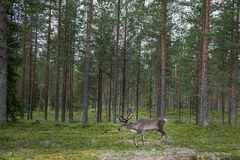 Reindeer in forest Stock Photo