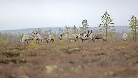 Reindeer in forests and swamps of Lapland. Eight reindeer of Santa Claus. Reindeer in forests and swamps of Lapland. A herd of deer on high bog Royalty Free Stock Images