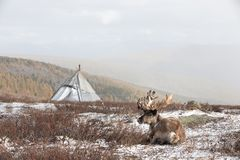 Reindeer in front of a yurt in a snow storm. Reindeer in front of a yurt in a heavy snow storm. Khuvsgol, Mongolia royalty free stock image