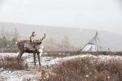 Reindeer in front of a yurt in a snow storm. Reindeer in front of a yurt in a heavy snow storm. Khuvsgol, Mongolia stock images
