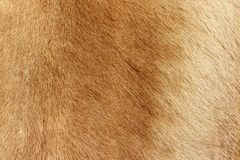 Reindeer fur background texture. Natural material pattern royalty free stock photos