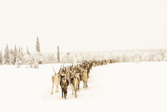Reindeer going home Royalty Free Stock Photos