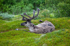 Reindeer on the grass Royalty Free Stock Photography