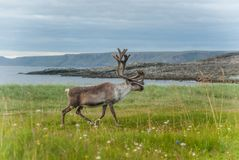 Reindeer graze on the coast of the Barents Sea, Varanger Peninsula, Finnmark, Norway Stock Photos