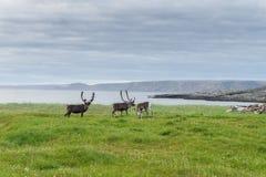 Reindeer graze on the coast of the Barents Sea, Varanger Peninsula, Finnmark, Norway Royalty Free Stock Images