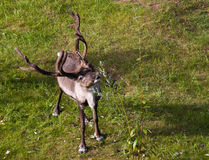Reindeer Grazing Stock Photos