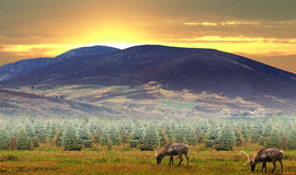 Reindeer grazing. In a field under a mountain at sunset scene Stock Photos