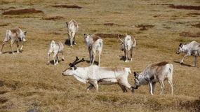 Reindeer grazing in the east fjords of Iceland. Wild Reindeer grazing in spring in the east fjords of Iceland stock images