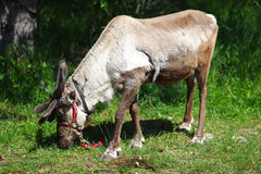 Reindeer grazing the meadows Royalty Free Stock Image